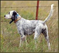 Liz, Calvin's dog that was featured in the Pointing Dog Journal in 2010.